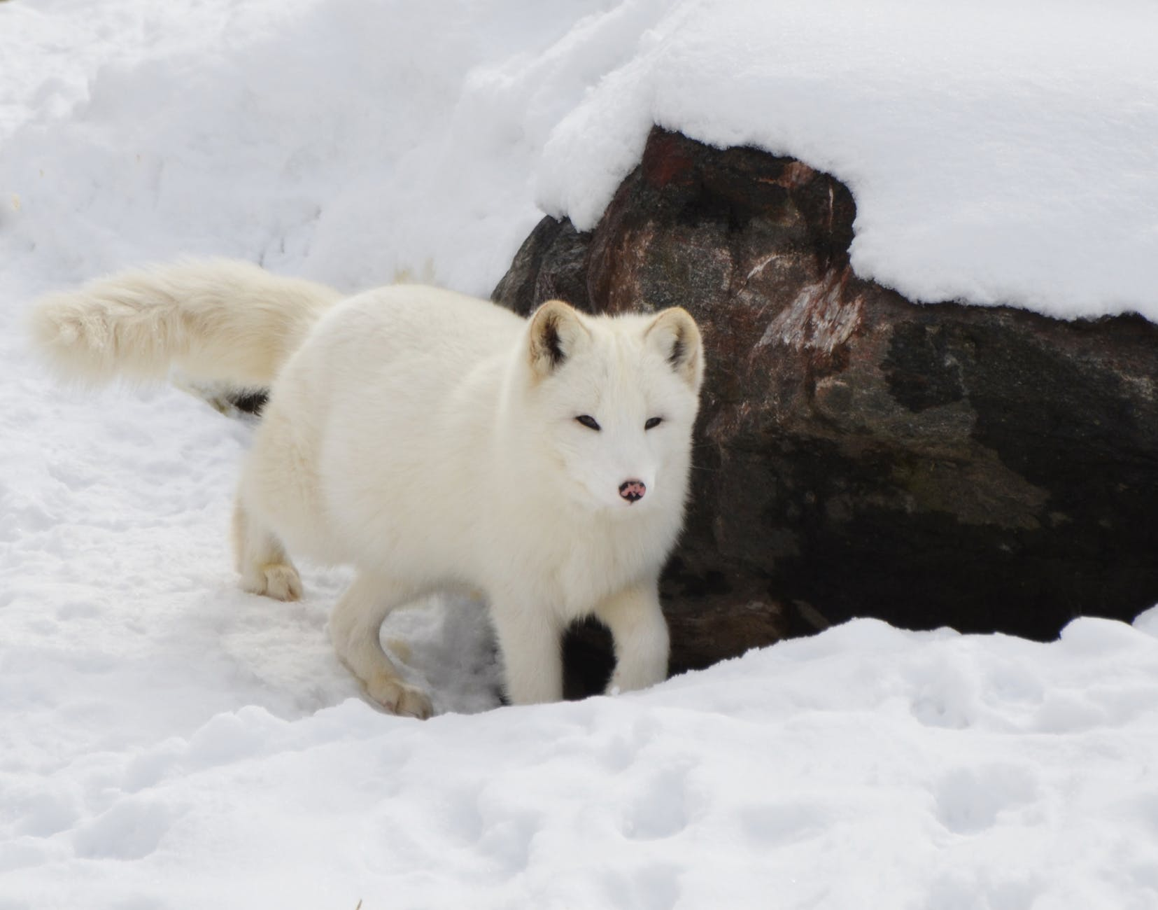 animal arctic blur canine