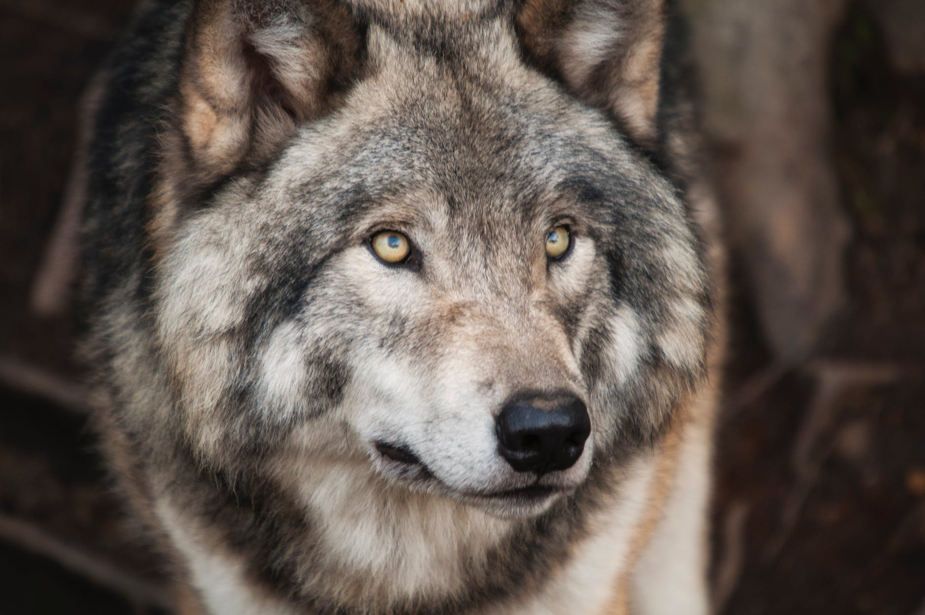grey and white wolf selective focus photography